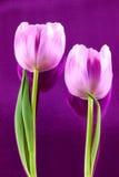 Paires de tulipes Image libre de droits