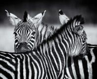 Paires de zèbre se toilettant dans le monochrome swaziland Photographie stock libre de droits