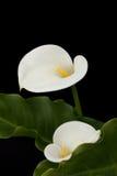 Paires de zantedeschias blancs photo stock