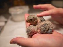 Paires des perruches à disposition et de la caresse de doigt closeup sommeil photographie stock