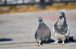 Paires drôles de pigeon Images stock