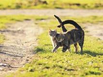 Paires du chat affectueux doux marchant sur le pré vert clair dans S Images libres de droits