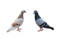 Paires du mâle et de la femelle de pigeons d'isolement sur le fond blanc Image stock