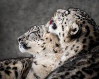 Paires II de léopard de neige Photographie stock