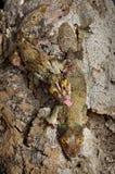 Paires moussues de gecko photographie stock libre de droits