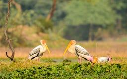 Paires peintes de cigogne avec la belle pose image libre de droits
