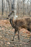 Paires rares animales à sabots sibériennes de cerfs communs de musc Photographie stock