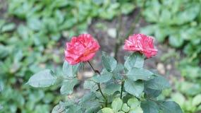 paires roses de fleurs d'amour Images stock