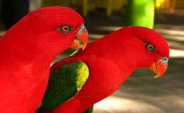 Paires rouges de perroquet image stock