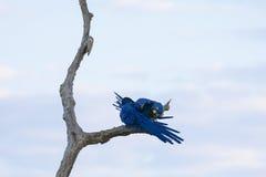 Paires sauvages d'élevage de Hyacinth Macaws Grooming sur l'arbre mort Image libre de droits