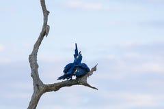 Paires sauvages d'élevage de Hyacinth Macaws Preening sur l'arbre mort Photographie stock libre de droits