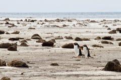 Paires seules de pingouins de Gentoo Photos stock