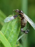The pairing of a black garden ant Royalty Free Stock Photo