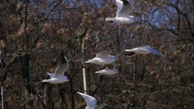 Pairo das gaivotas no ar e no alimento da captura Movimento lento video estoque