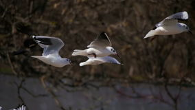 Pairo das gaivotas no ar e no alimento da captura Movimento lento filme