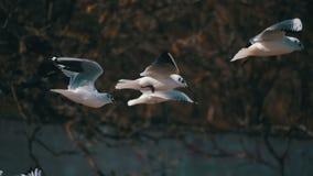 Pairo das gaivotas no ar e no alimento da captura Movimento lento vídeos de arquivo
