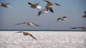 Pairo das gaivotas no ar e no alimento da captura no fundo Gelo-coberto congelado do mar Movimento lento filme