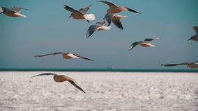 Pairo das gaivotas no ar e no alimento da captura no fundo Gelo-coberto congelado do mar Movimento lento vídeos de arquivo