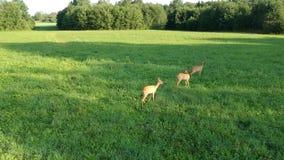 Pairo do zangão acima de três cervos de ovas no prado verde da manhã do verão video estoque