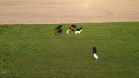 Pairo do zangão acima do prado e do campo com cavalos, vista aérea vídeos de arquivo