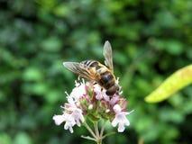 Pairo-mosca Foto de Stock Royalty Free