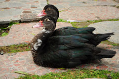 Pairs of black ducks mallards resting Stock Image