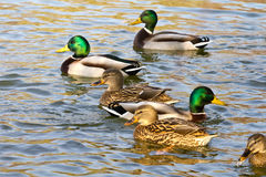 Pairs of ducks. Pairs of Mallard or Wild Ducks (Anas platyrhynchos) swimming on lake Royalty Free Stock Images