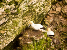 Pairs of Gannets on cliffs. At Bempton Cliffs, Bridlington, North Yorkshire, UK Stock Images