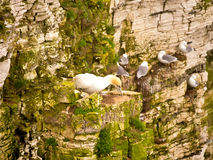 Pairs of Gannets on cliffs. At Bempton Cliffs, Bridlington, North Yorkshire, UK Stock Photo