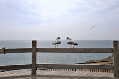A pairs of larus brunnicephalus in talking. A pairs of larus brunnicephalus in rest Stock Photography