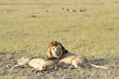 Pairs of lions resting after plentiful  feeding Stock Photography