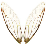 Pairs Of Cicada Wings Royalty Free Stock Images
