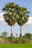 Pairs sugar palm. Stock Photo