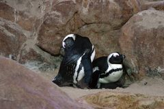 Pais do pinguim Fotos de Stock