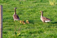 Pais dos gansos com pintainhos imagem de stock