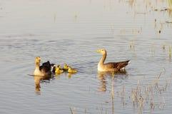 Pais dos gansos com pintainhos fotografia de stock royalty free