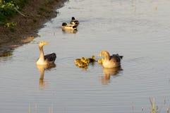 Pais dos gansos com pintainhos imagens de stock royalty free