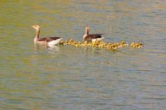 Pais dos gansos com pintainhos foto de stock