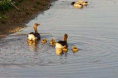 Pais dos gansos com pintainhos foto de stock royalty free