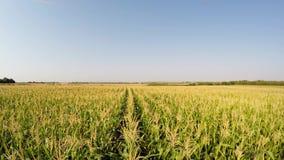 A paisagem aérea do milho colhe lentamente o avanço para a frente acima da linha do milho, vista dianteira Gravado em 4k video estoque