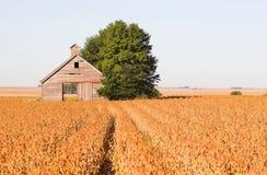 Paisagem abandonada do campo do celeiro e do feijão de soja Imagens de Stock Royalty Free