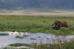 Paisagem africana com elefante e pelicano fotos de stock royalty free