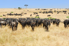 Paisagem africana com gnu dos antílopes fotografia de stock
