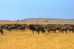 Paisagem africana com gnu dos antílopes imagens de stock
