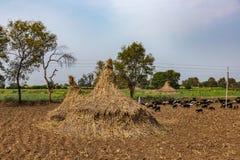 Paisagem agrícola tradicional da Índia Um campo com uma pilha de plantas secas e de um rebanho da grama imagem de stock royalty free