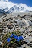 Paisagem alpina com florescência de Bitterwort e de moutains fotos de stock royalty free