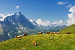 Paisagem alpina idílico bonita com vacas, montanhas dos cumes e campo no verão Fotos de Stock