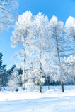 Paisagem bonita com árvores cobertos de neve - dia do inverno de inverno ensolarado Imagem de Stock