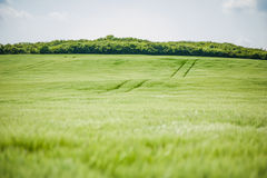 Paisagem bonita com o céu e o campo de trigo verde Fotos de Stock