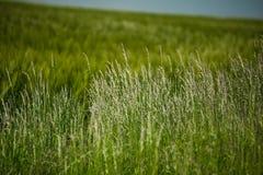 Paisagem bonita com o céu e o campo de trigo verde Imagem de Stock Royalty Free